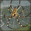 bandedleggedgoldenorbwebspider.png
