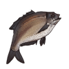 bream.png